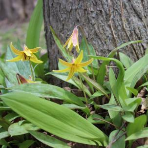Trout lily in bloom